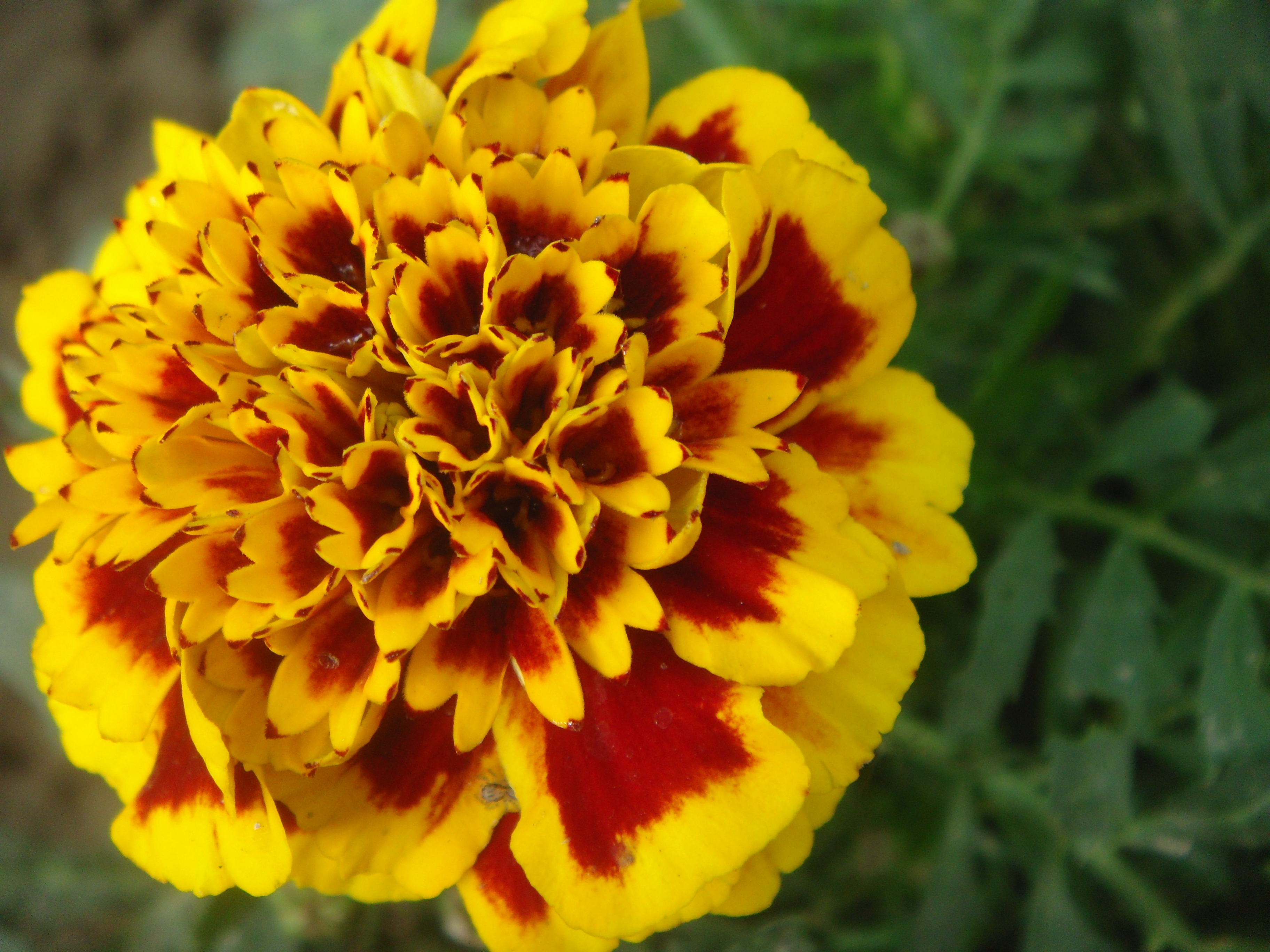 Blooming Friday Marigolds