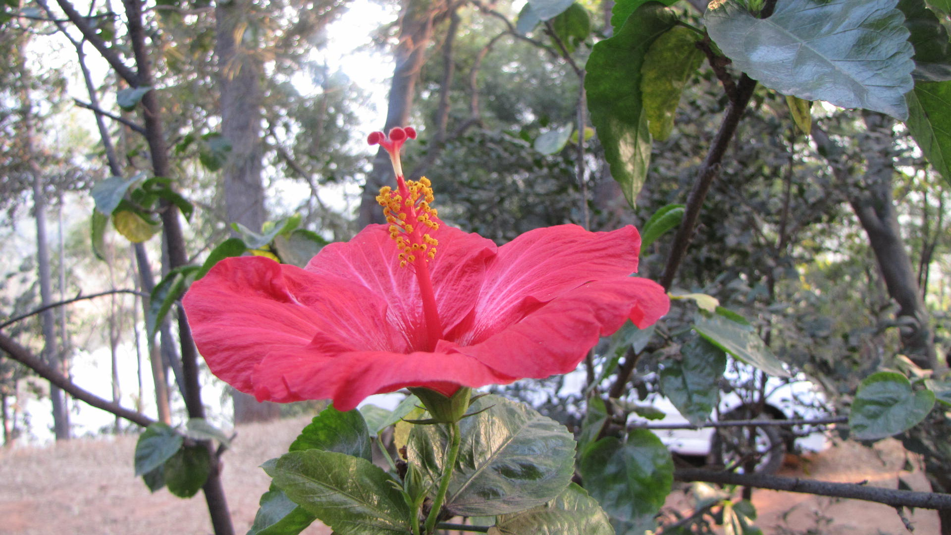 Image result for Hawaiian Hibiscus Wallpapers