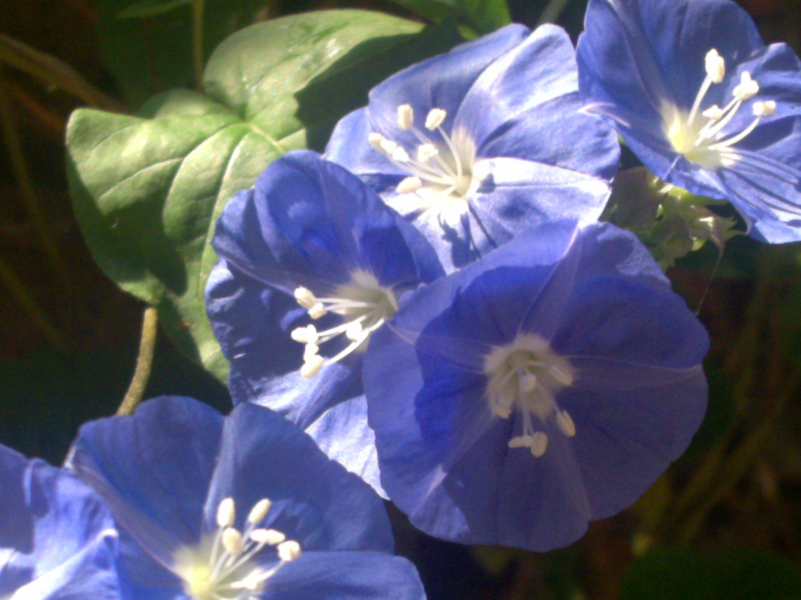 Todays flowers sky blue cluster vine terra farmer welcome izmirmasajfo Images
