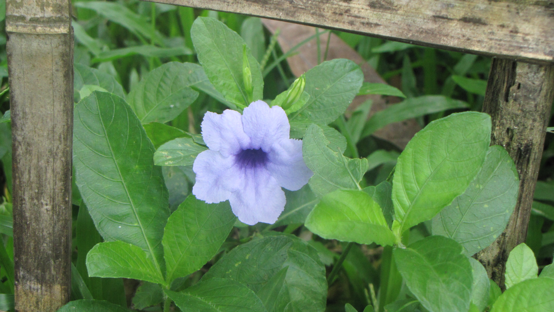 Blooming fridayfeeling blue terra farmer i start off my blue post with the blue dawn floweripomoea indica it grows in the wild in my hometown and in hilly areas all across india izmirmasajfo