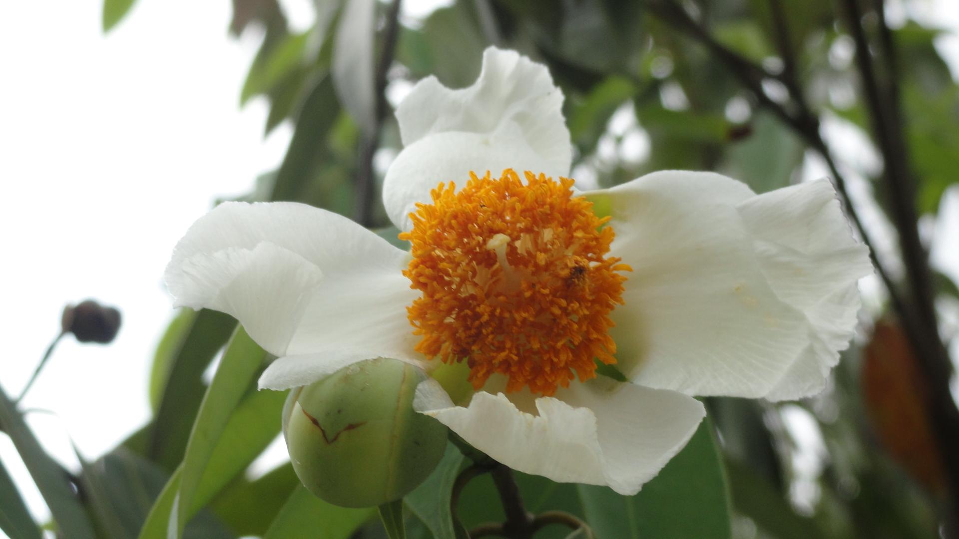 the indian rose chestnut tree terra farmer